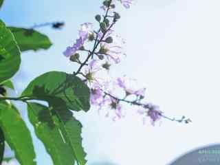 小清新陽光下的(de)紫薇花桌面(mian)壁紙