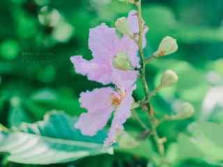 唯美綠色護眼(yan)粉色紫薇花