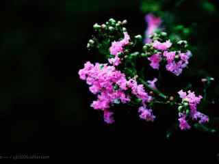 清新好看的(de)黑夜里的(de)紫薇花桌面(mian)壁紙