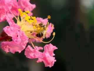 蜜蜂吸(xi)食這紫薇花花蕊(rui)桌面(mian)壁紙