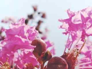 唯美好看的(de)紫薇花桌面(mian)壁紙