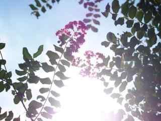 唯美陽光下的(de)紫薇花桌面(mian)壁紙