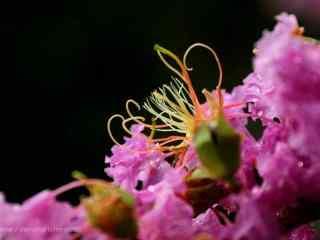 粉色紫薇花(hua)特寫攝影桌面壁紙(zhi)