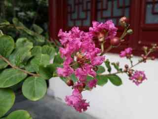 復古庭院里好看的(de)紫薇花桌面(mian)壁紙