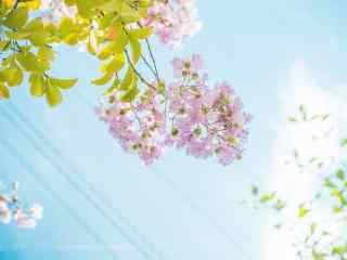 清(qing)新(xin)日系(xi)好看的紫薇花(hua)桌面壁紙(zhi)