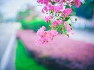 文藝好看的紫薇花(hua)桌面壁紙(zhi)