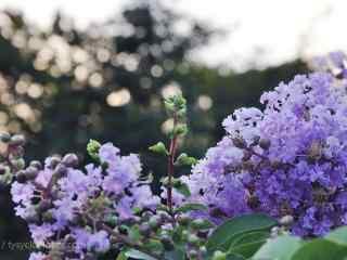 小清新紫色紫薇花桌面(mian)壁紙