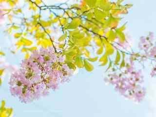 小清(qing)新(xin)日系(xi)好看的紫薇花(hua)桌面壁紙(zhi)