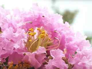 小清新好看的(de)粉色紫薇花桌面(mian)壁紙