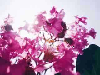 烈日陽光下的(de)紫薇花桌面(mian)壁紙