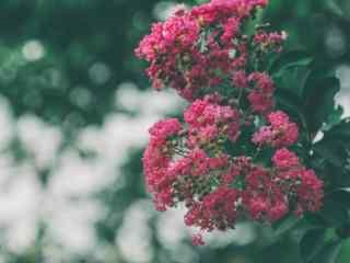 唯(wei)美(mei)日系(xi)好看紅色紫薇花(hua)桌面壁紙(zhi)