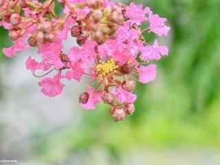 清新護眼(yan)紅(hong)色紫薇花桌面(mian)壁紙