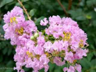 小清新粉色紫薇花桌面(mian)壁紙