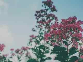 唯美藍天白(bai)雲下的(de)紫薇花桌面(mian)壁紙