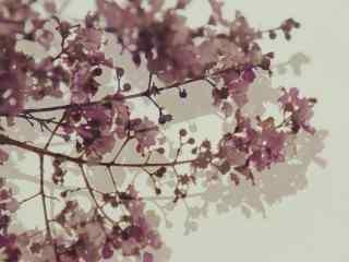 唯(wei)美(mei)白色紫薇花(hua)攝影圖片(pian)壁紙(zhi)