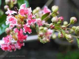 小清(qing)新(xin)好看的粉白色紫薇桌面壁紙(zhi)