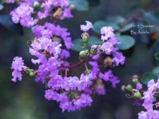 清新好看的(de)紫色紫薇花桌面(mian)壁紙
