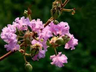 簡約好看的紫薇花(hua)桌面壁紙(zhi)