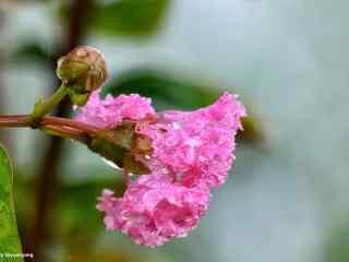 水珠掛在紫薇花(hua)上桌面壁紙(zhi)