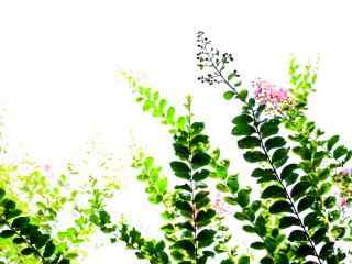 清新綠色護眼(yan)紫薇花桌面(mian)壁紙