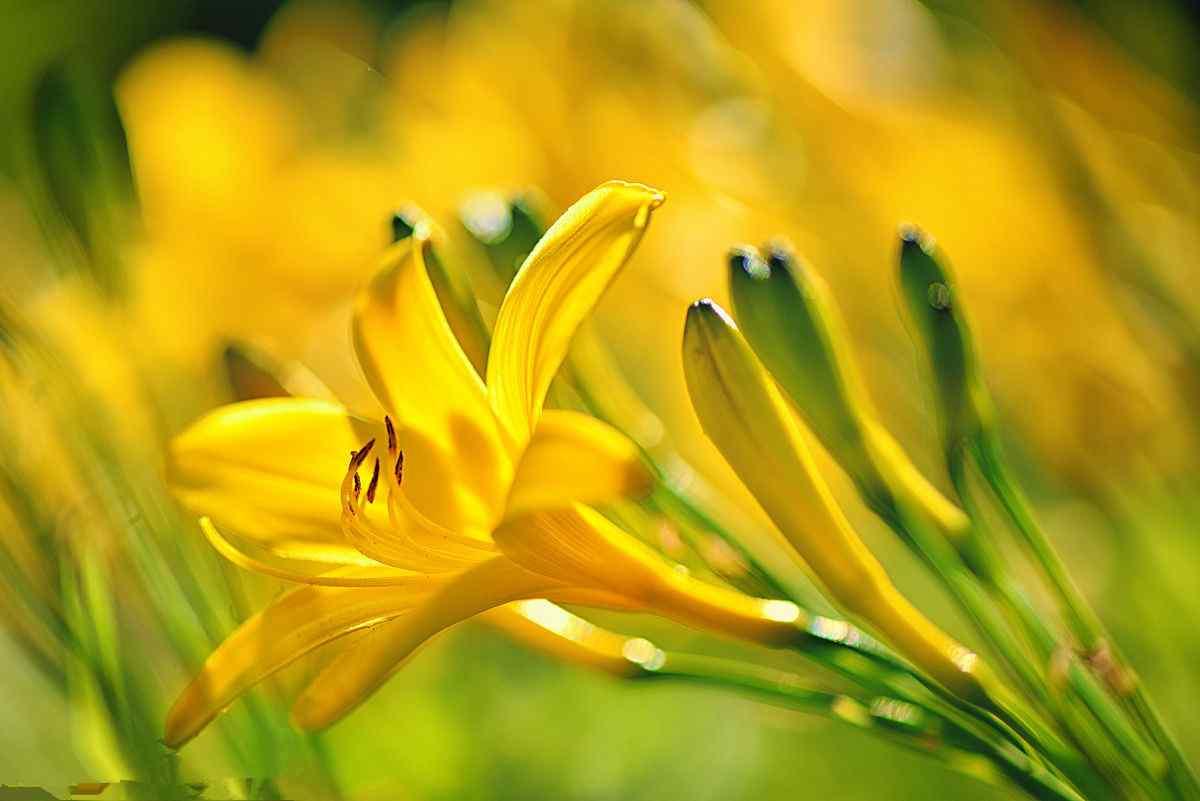 唯美好看的黄色萱草花桌面壁纸