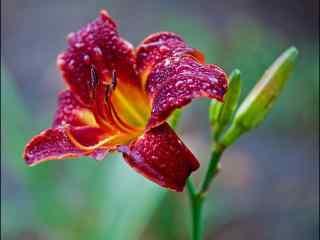 雨水打湿了的萱草花桌面壁纸