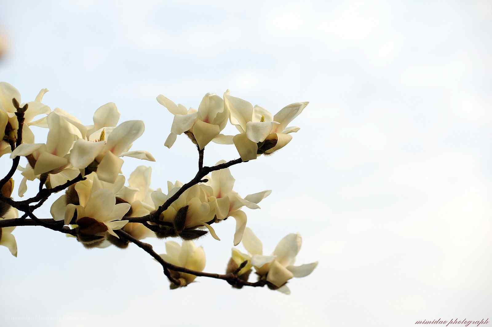 蓝天白云下的白兰花桌面壁纸