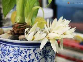花盆中盛开的白兰花桌面壁纸