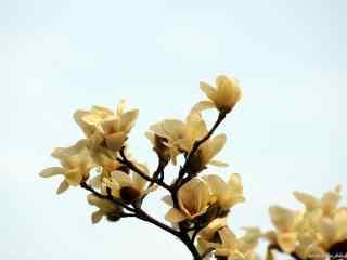 唯美蓝天下的白兰花桌面壁纸