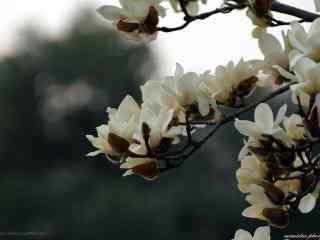 唯美素雅的白兰花桌面壁纸