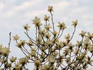 唯美好看的白兰花花海桌面壁纸