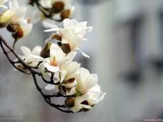 唯美好看的白兰花桌面壁纸