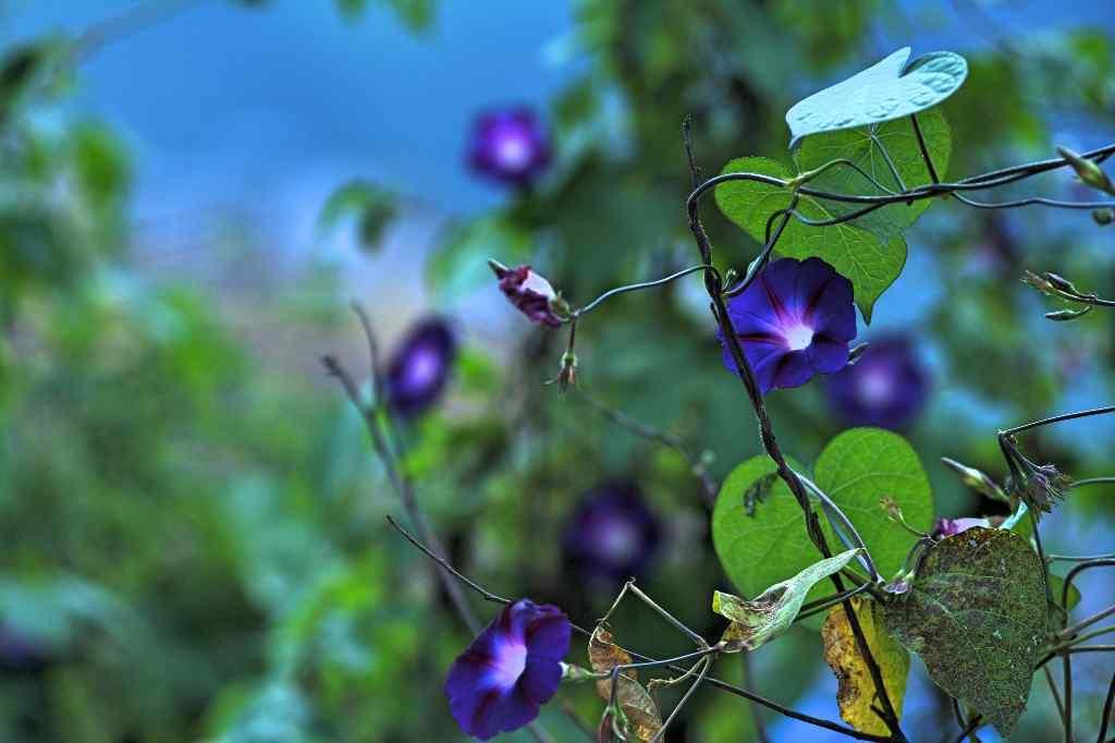 唯美好看的紫色牵牛花桌面壁纸