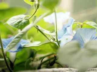 绿叶丛中的牵牛花桌面壁纸
