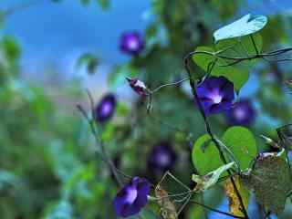 唯美好看的(de)紫色牽牛花桌面壁紙