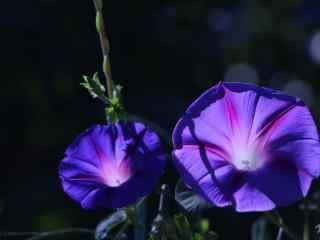 兩朵紫色可愛的(de)牽牛花桌面壁紙