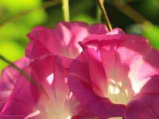 綠色護(hu)眼好看的粉色牽牛花桌面壁(bi)紙