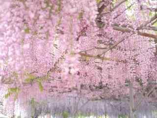 浪漫(man)粉色好看的紫藤(teng)蘿花(hua)海桌面壁紙