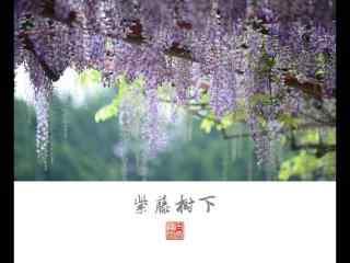 文藝好看的紫藤(teng)蘿瀑(pu)布(bu)桌面壁紙