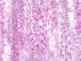 粉色好看的紫藤(teng)蘿花(hua)海桌面壁紙
