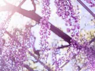 烈(lie)日陽(yang)光下(xia)紫藤(teng)蘿花(hua)瀑(pu)布(bu)桌面壁紙