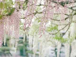 清(qing)新簡(jian)單好看的紫藤(teng)蘿花(hua)海桌面壁紙