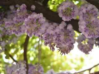 唯美好看的紫藤(teng)蘿桌面壁紙