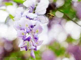 清(qing)新好看的紫藤(teng)蘿花(hua)海桌面壁紙