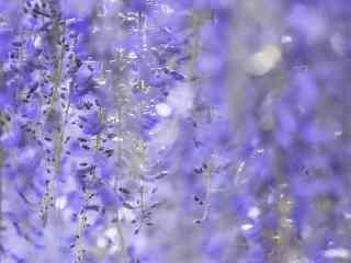 紫色好看的紫藤(teng)蘿桌面壁紙