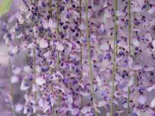 唯美紫色好看的紫藤(teng)蘿花(hua)桌面壁紙