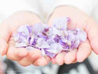 少女手捧紫藤(teng)蘿桌面壁紙