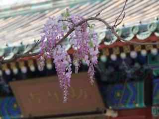 小清(qing)新好看的紫藤(teng)蘿花(hua)枝桌面壁紙