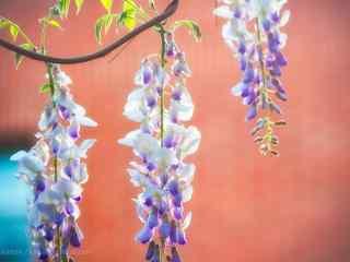 紅牆上垂掛在枝頭的紫藤(teng)蘿桌面壁紙