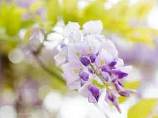 小清(qing)新好看的紫藤(teng)蘿桌面壁紙